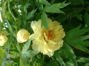 yellowpeony